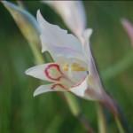 Gladiolus Angustus